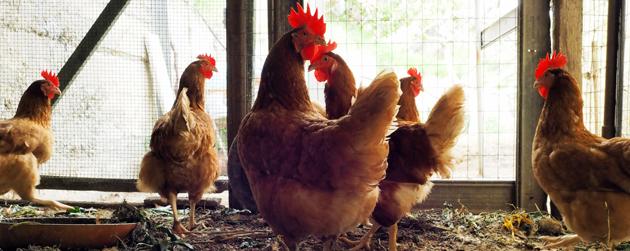 poules urbaines