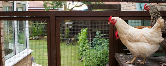 4 exemples de municipalit s autorisant les poules urbaines sur leur territoire - Poules en ville reglementation ...